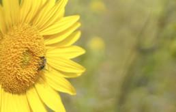 Nahaufnahme einer Biene auf einer Sonnenblume